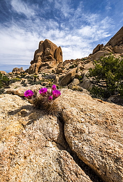 A Hedgehog Cactus blooms between two rocks in Joshua Tree National Park, California, United States of America