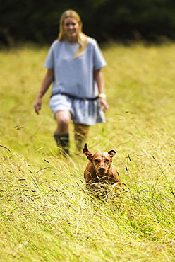 Hungarian Vizsla running from woman in field towards the camera, Reigate, Surrey, England
