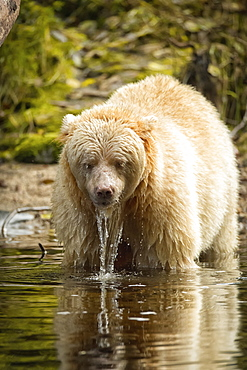 A Kermode Bear (Ursus americanus kermodei), also known as a Spirit Bear, standing in the water with water dripping off it's fur