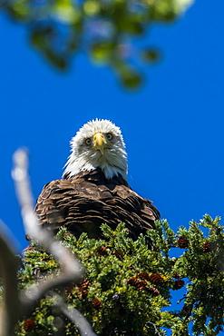 Bald Eagle (Haliaeetus leucocephalus) perched in a tree against a blue sky, Yukon, Canada