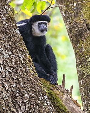 Black-and-white Colobus Monkey (Colobus guereza) sitting in a tree at Ngare Sero Mountain Lodge, near Arusha, Tanzania