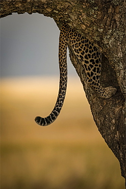 Tail of leopard (Panthera pardus) hangs down while climbing tree, Serengeti, Tanzania