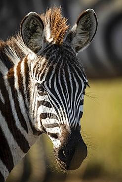 Close-up of young plains zebra (Equus quagga) eyeing camera, Serengeti, Tanzania