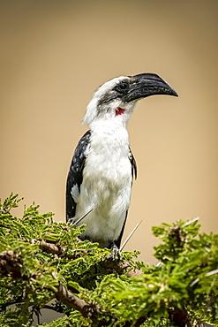 Female Von der Decken's hornbill (Tockus deckeni) on thornbush, Serengeti, Tanzania