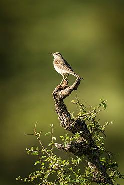 Rattling cisticola (Cisticola chiniana) perches on leafy tree stump, Serengeti, Tanzania - 1116-49321