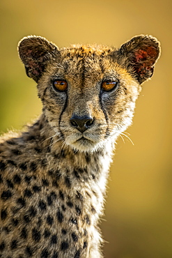 Close-up of female Cheetah (Acinonyx jubatus) turning head, Serengeti, , Tanzania