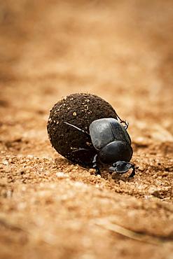 Dung beetle (Scarabaeoidea) rolling dung ball on track, Serengeti, Tanzania