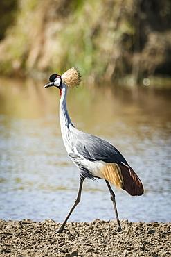 Grey crowned crane (Balearica regulorum) walking along river bank, Serengeti, Tanzania