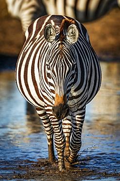 Plains zebra (Equus quagga) walks through puddle towards camera, Serengeti, Tanzania