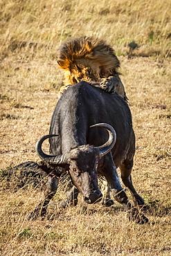 Male lion (Panthera leo) pushed down Cape buffalo (Syncerus caffer) from behind, Serengeti, Tanzania