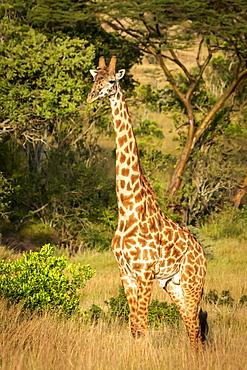 Masai giraffe (Giraffa camelopardalis tippelskirchii) stands watching camera, Serengeti, Tanzania