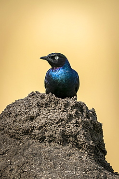 Ruppell long-tailed starling (Lamprotornis purpuroptera) perched on termite mound, Serengeti, Tanzania