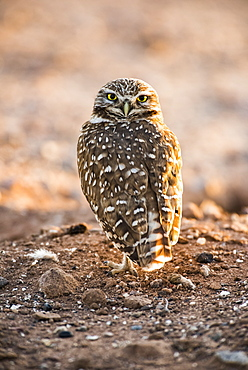 Burrowing Owl (Athene cunicularia) perched on the ground with head turned to look backwards, Casa Grande, Arizona, United States of America