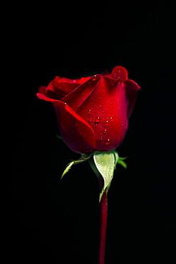Don Jaun Rose (Rosa rugosa) on a black background