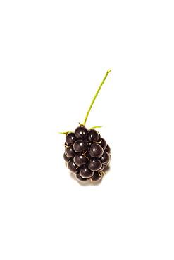 Wild Blackberry (Rubus fruticosus) on a white background