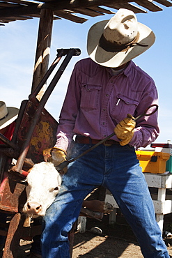 Livestock - A cowboy dehorns a Hereford calf with a horn iron / Alberta, Canada.