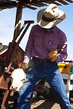 Livestock - A cowboy dehorns a Hereford calf with a horn iron / Alberta, Canada.
