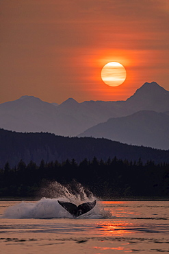 Humpback whales (Megaptera novaeangliae) surfacing in Inside Passage in the Lynn Canal under the glow of the setting sun; Alaska, United States of America