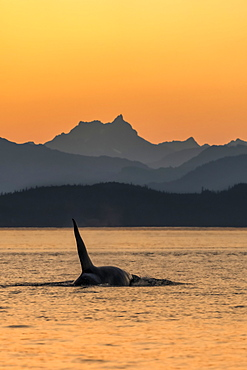 Killer whale (Orcinus orca) surfacing beside the Chilkat Mountains at sunset, Lynn Canal, Inside Passage; Alaska, United States of America