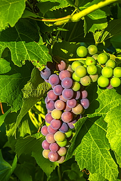Frontenac Noir Grapes ripening in a cluster on a vine; Shefford, Quebec, Canada