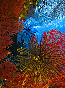 Colourful yellow Crinoid feeding surrounded by red hard coral; Fiji