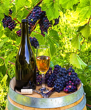 Wine served at a winery with wine glasses and clusters of fresh grapes on a barrel; Quebec, Canada