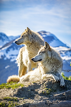 Two female Gray wolves (Canis lupus) looking out with a mountain in the background, Alaska Wildlife Conservation Center; Portage, Alaska, United States of America