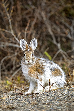 Snowshoe hare (Lepus americanus) changing to summer colours, Denali National Park and Preserve; Alaska, United States of America