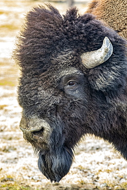 Wood bison bull (Bison bison athabascae) portrait, Alaska Wildlife Conservation Center in South-central Alaska. The Alaska Wildlife Conservation Center played a big part in helping  reintroduce these animals back into the Alaska wilds; Portage, Alaska, United States of America