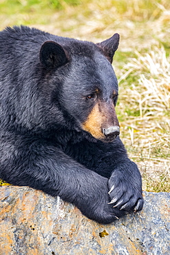A male Black bear (Ursus americanus) rests on a hillside, Alaska Wildlife Conservation Center; Portage, Alaska, United States of America