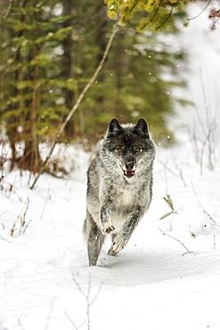 Wolf (Canis lupus) running in snow; Golden, British Columbia, Canada