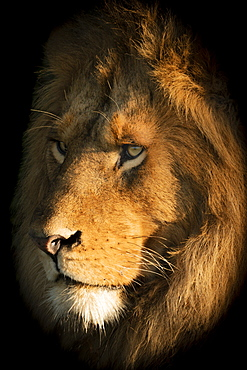 A male lion (Panthera leo) lies with its head bathed in the golden light of dawn. It has a big mane and is staring into the distance,Klein's Camp, Serengeti National Park; Tanzania