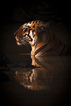 A Bengal tigress (Panthera tigris tigris) lies up to her neck in the dark shadows of a water hole. Her name is Maya 'The Enchantress', and she has orange and black stripes with white patches on her head; India