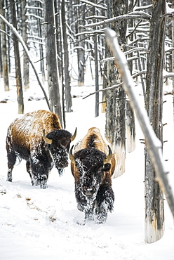 Pair of American Bison bulls (Bison bison) walking through the 'Bobby Socks' trees in the Firehole River Valley of Yellowstone National Park; Wyoming, United States of America
