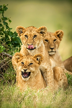 Three lion cubs (Panthera leo) lie together by bush, Cottar's 1920s Safari Camp, Maasai Mara National Park; Kenya