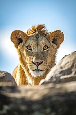 A young male lion (Panthera leo) pokes his head above a rocky ledge under a blue sky. He has a short mane and is staring straight at the camera. Klein's Camp, Serengeti National Park; Tanzania