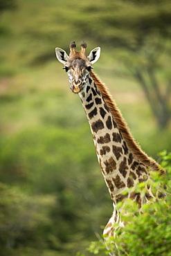 Masai giraffe (Giraffa camelopardalis tippelskirchii) pokes head out from bush, Klein's Camp, Serengeti National Park; Tanzania