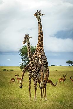 Male Masai giraffe (Giraffa camelopardalis tippelskirchii) mounts female by impala (Aepyceros melampu), Grumeti Serengeti Tented Camp, Serengeti National Park; Tanzania