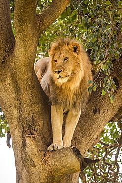 Male lion (Panthera leo) stands staring down from tree, Cottar's 1920s Safari Camp, Maasai Mara National Reserve; Kenya