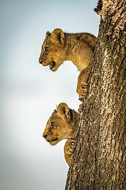 Lion cubs (Panthera leo) look out from tree trunk, Grumeti Serengeti Tented Camp, Serengeti National Park; Tanzania