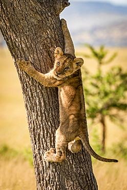 Lion cub (Panthera leo) looks back climbing tree trunk, Grumeti Serengeti Tented Camp, Serengeti National Park; Tanzania