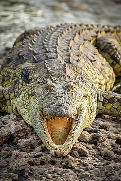 Close-up of Nile crocodile (Crocodylus niloticus) with open jaws, Grumeti Serengeti Tented Camp, Serengeti National Park; Tanzania