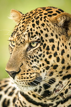 Close-up of male leopard (Panthera pardus) head turned left, Cottar's 1920s Safari Camp, Maasai Mara National Reserve; Kenya
