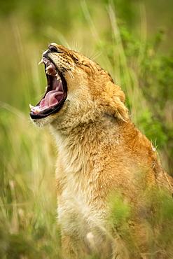 Close-up of lion cub (Panthera leo) yawning in grass, Grumeti Serengeti Tented Camp, Serengeti National Park; Tanzania