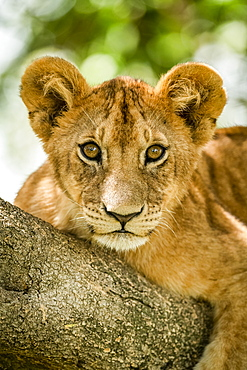 Close-up of lion cub (Panthera leo) staring on branch, Grumeti Serengeti Tented Camp, Serengeti National Park; Tanzania