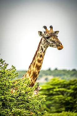 Masai giraffe (Giraffa camelopardalis tippelskirchii) pokes head above leafy bush, Cottar's 1920s Safari Camp, Maasai Mara National Reserve; Kenya
