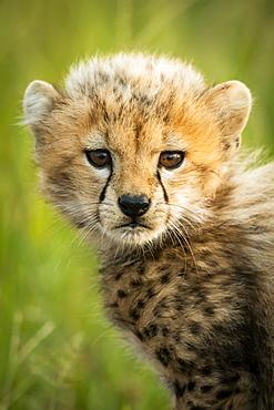 Close-up of cheetah cub (Acinonyx jubatus) sitting on grass, Grumeti Serengeti Tented Camp, Serengeti National Park; Tanzania
