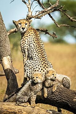 Cheetah (Acinonyx jubatus) sits with two cubs on dead branch, Grumeti Serengeti Tented Camp, Serengeti National Park; Tanzania