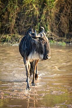 Blue wildebeest (Connochaetes taurinus) crosses shallow river turning head, Cottar's 1920s Safari Camp, Maasai Mara National Reserve; Kenya
