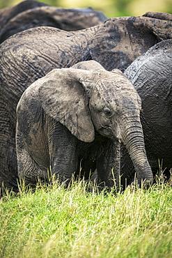 African bush elephant calf (Loxodonta africana) stands with herd, Klein's camp, Serengeti National Park; Tanzania